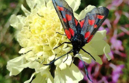 Cephalaria Alpina