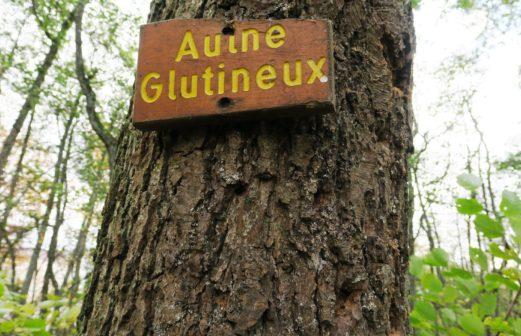 Aulne