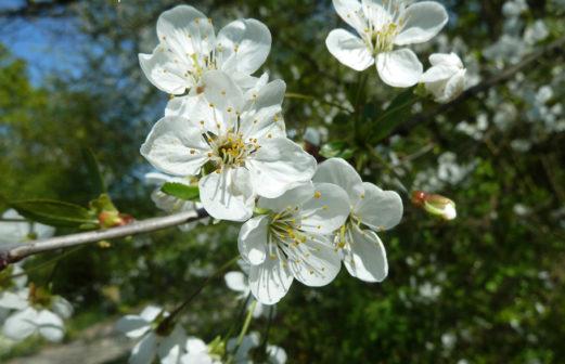 Cerisier sauvage