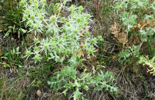 Eryngium campestre (espèce protégée)