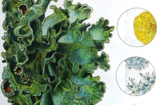 10 - Lichens Miniguide de la Salamandre
