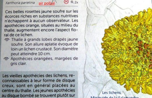 12- Xanthoria parietina – air pollué