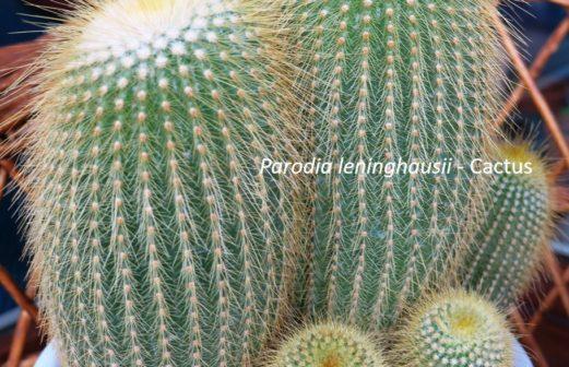 6 - Parodia leninghausii cactus