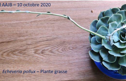 7 - Echeveria pollux - Crassulacée