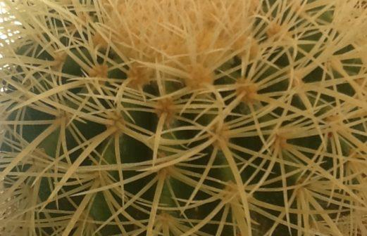 9 - Genre Mammillaria cactus